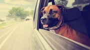 a boxer pit bull mix dog riding in a car with her head out of t